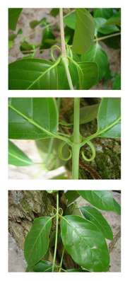 cats-claw-uncaria-tomentosa